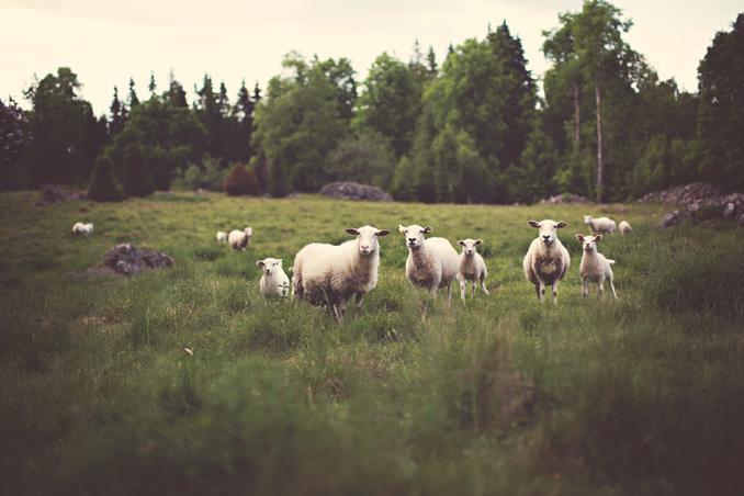 owce[1]