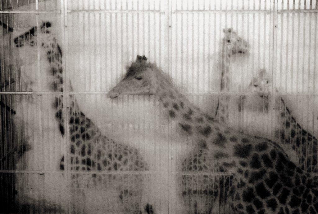 Sophie Alyz - żyrafy